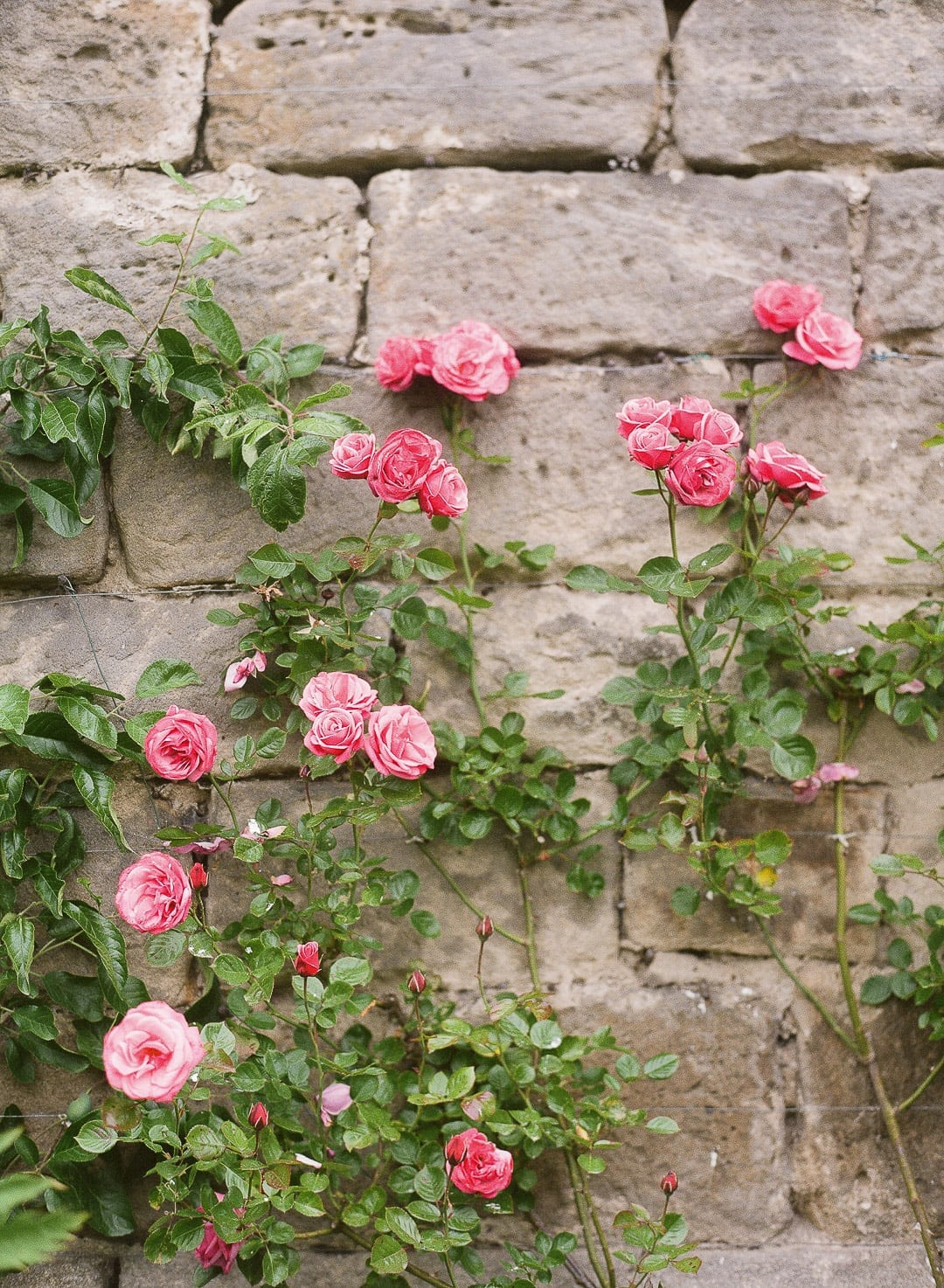 Pink flowers stone wall in england
