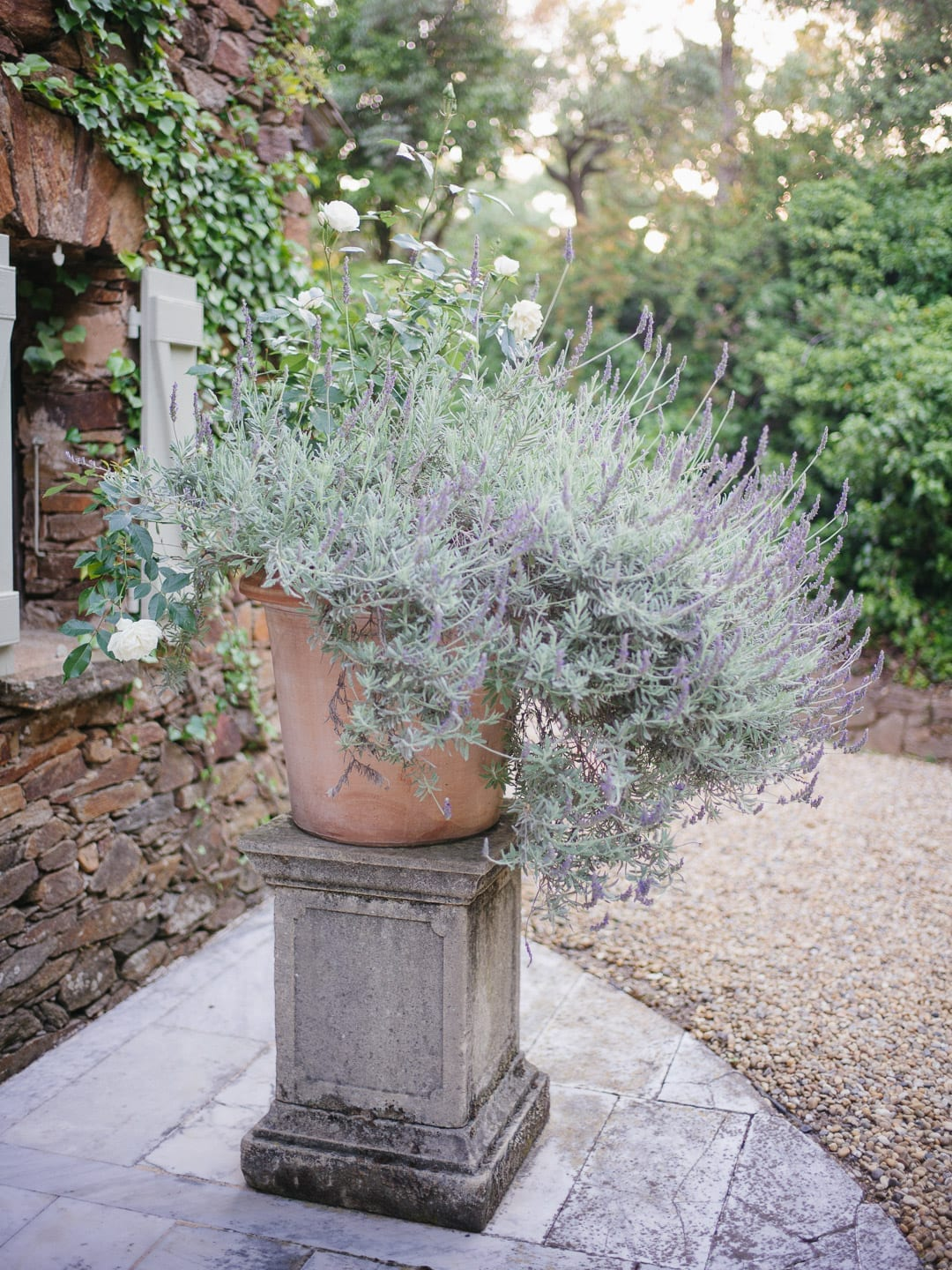 Lavender growing on a pedestal in a French garden - First Glimpse of France