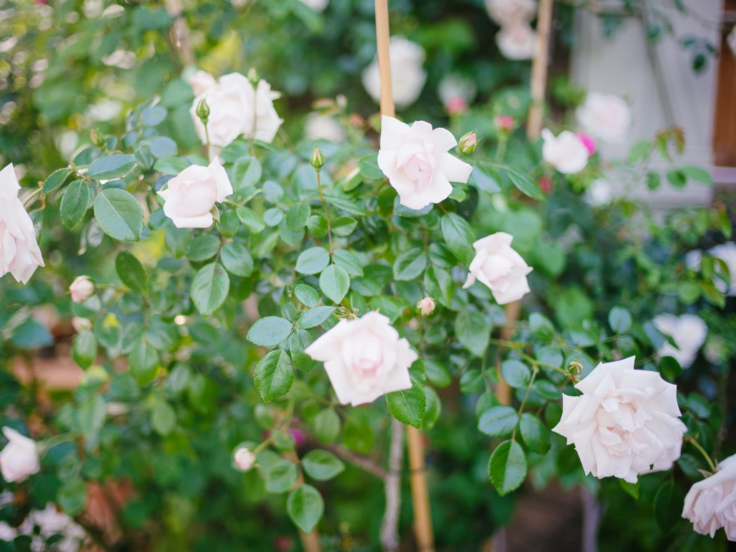 Light pink roses on a trellis - First Glimpse of France