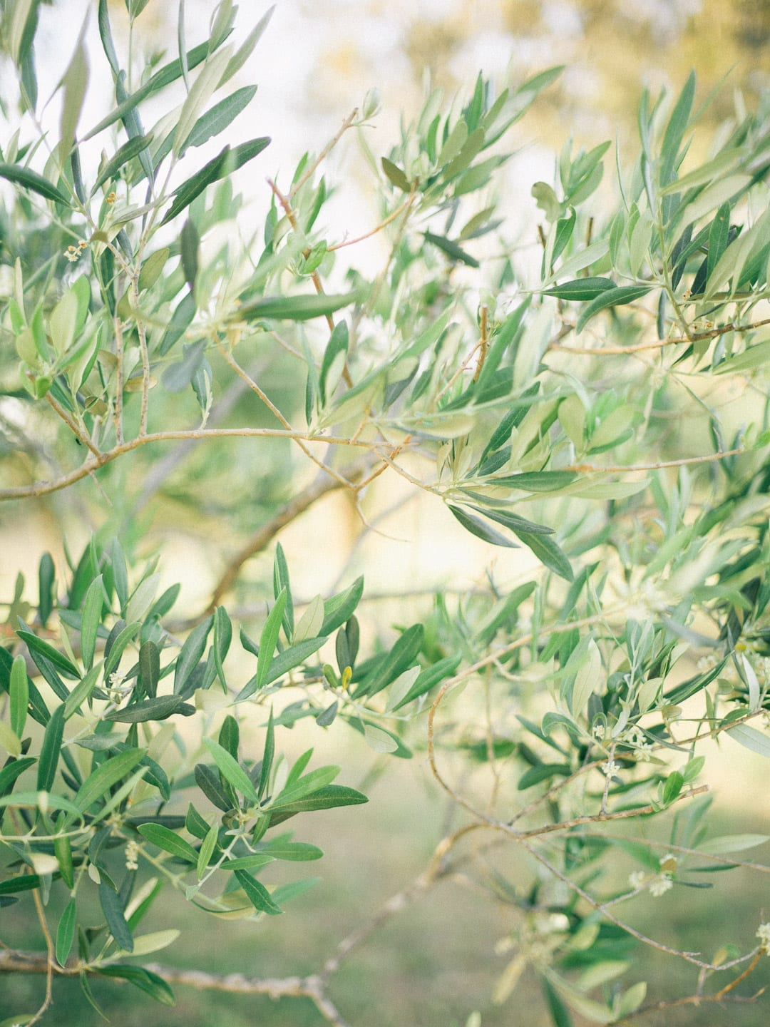 Olive branches in a garden - First Glimpse of France