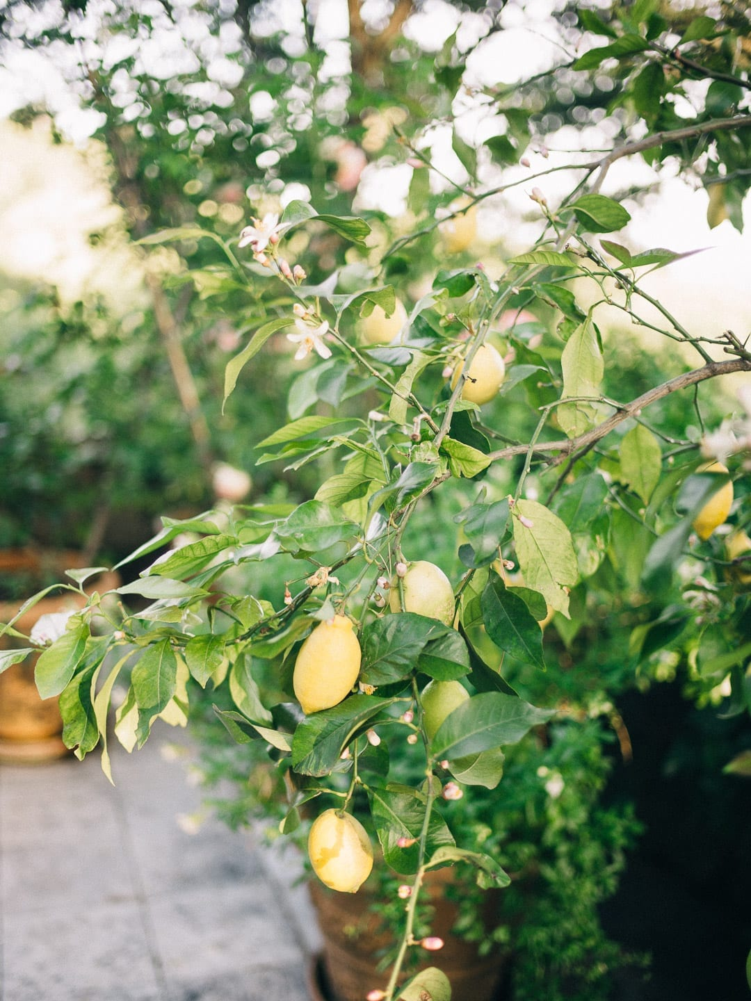 Lemon tree growing in a French garden - First Glimpse of France