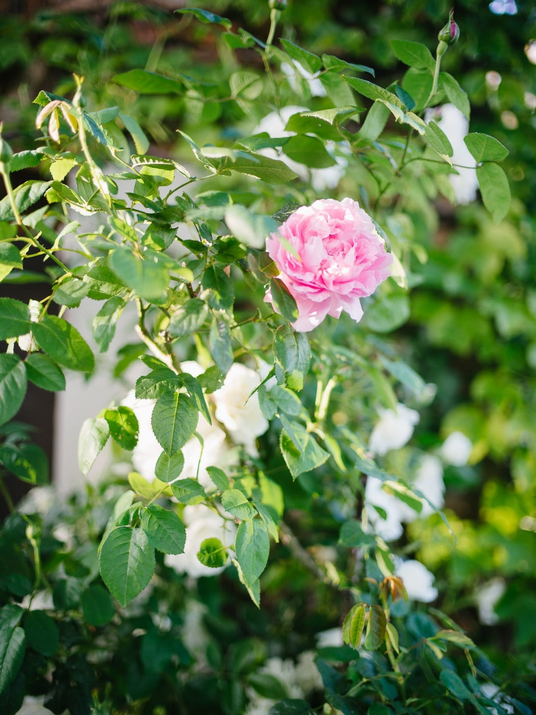 A single pink rose in a French garden - First Glimpse of France