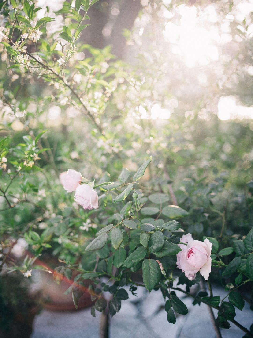 Pink roses in a French garden with the sun setting behind - First Glimpse of France