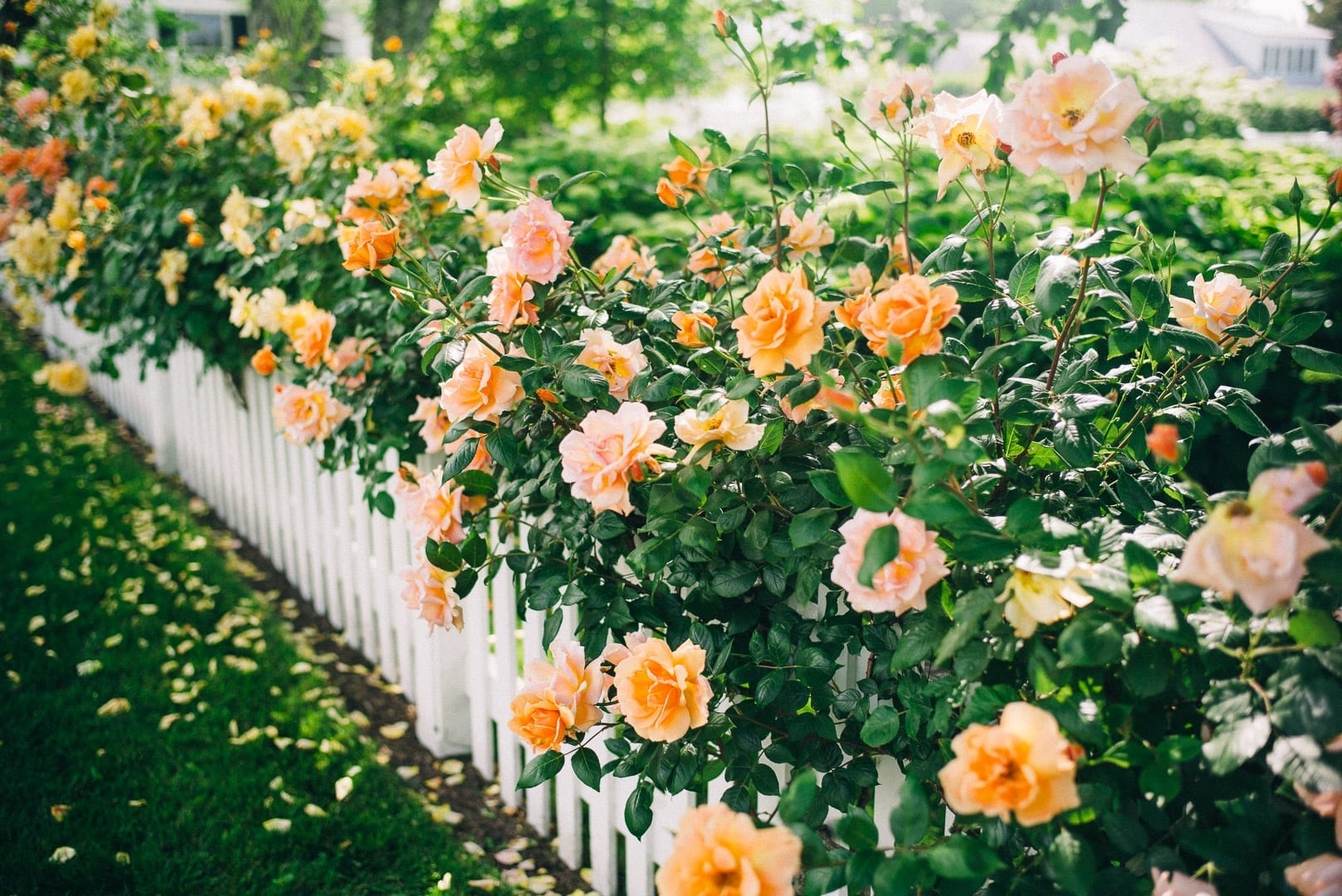 Martha's Vineyard Guide - Pink and orange flowers on Martha's vineyard