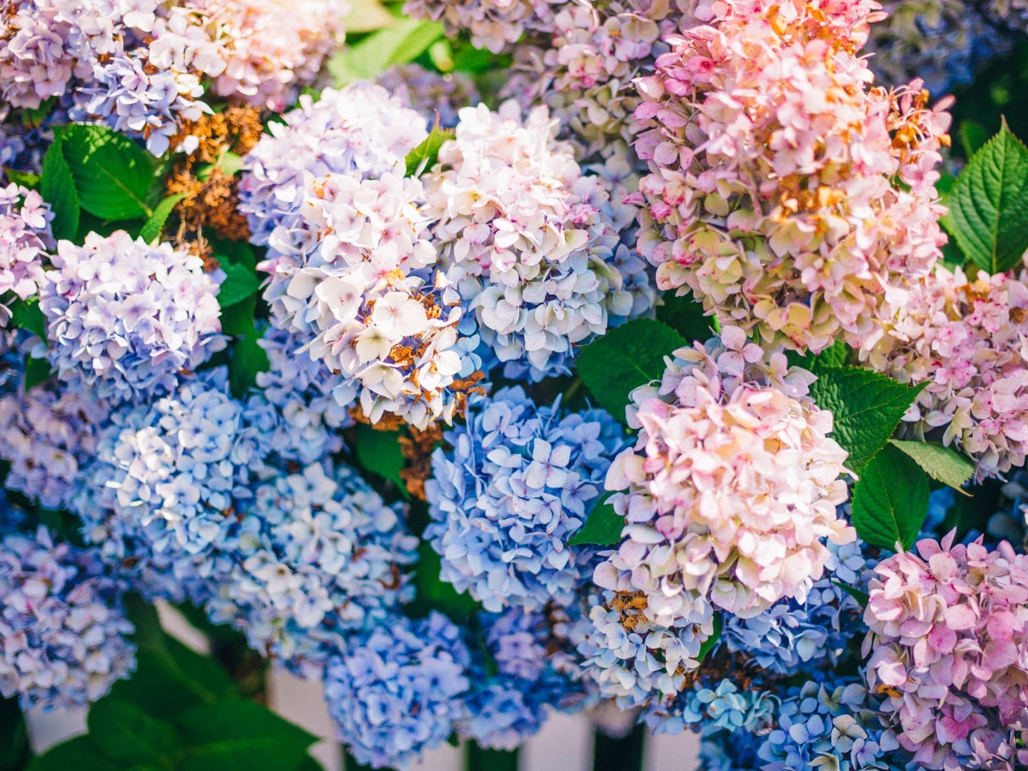 Martha's Vineyard Guide - Blue and pink hydrangeas